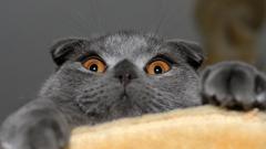 Шотландская вислоухая кошка (скоттиш фолд и страйт)